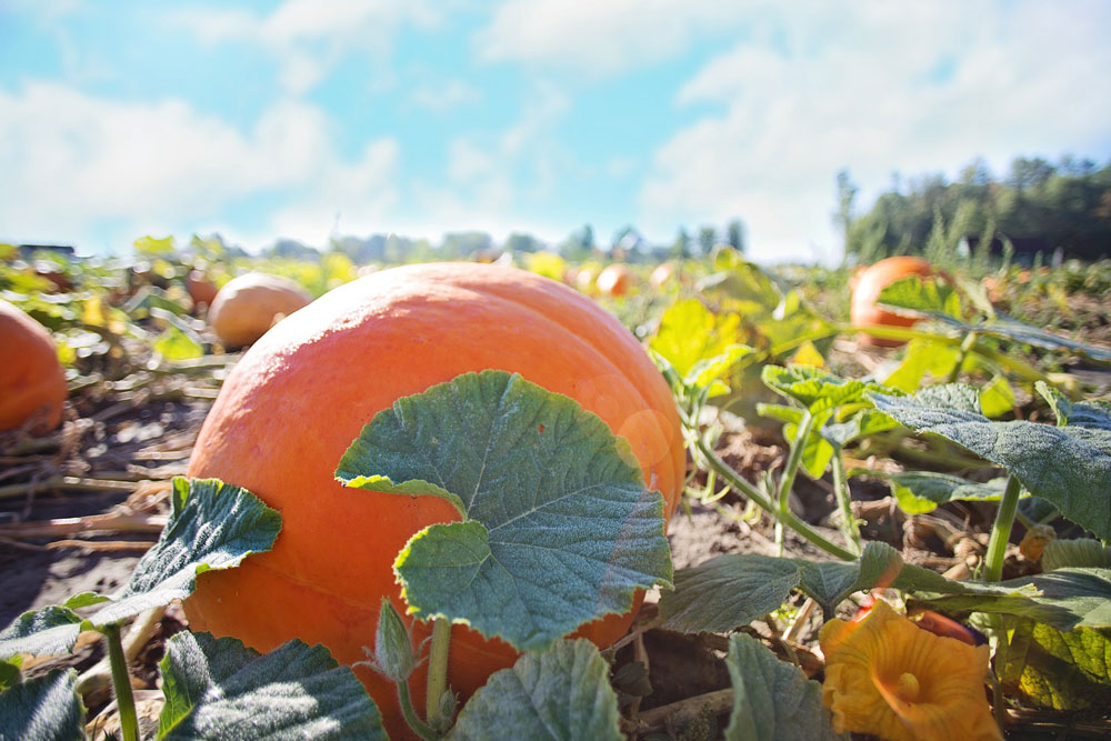 Sonoma County Pumpkin Patches