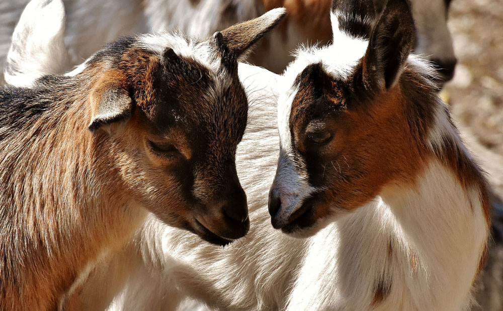 two goats looking at each other